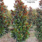 DD Blanchard Magnolia 2019-02