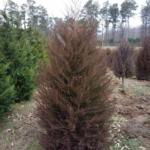 Eastern Red Cedar 2019-02-0000