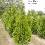 Green Giant Arborvitae 2019-02 10-11'