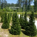 Murray Cypress 8-13 ft 2020 0429