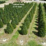 Oakleaf Holly 5-8 ft 2020 0429