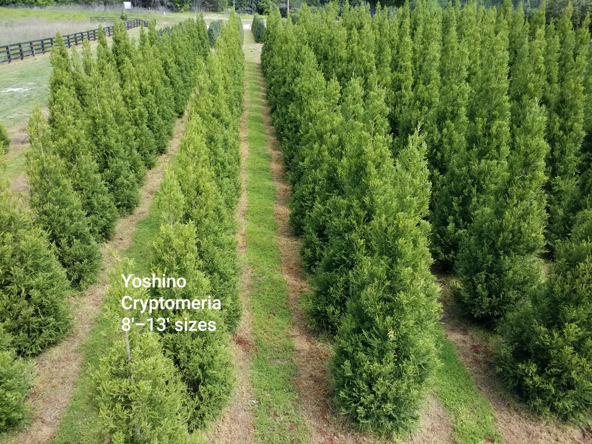 Yoshino Cryptomeria 8-13 ft 2020 0429